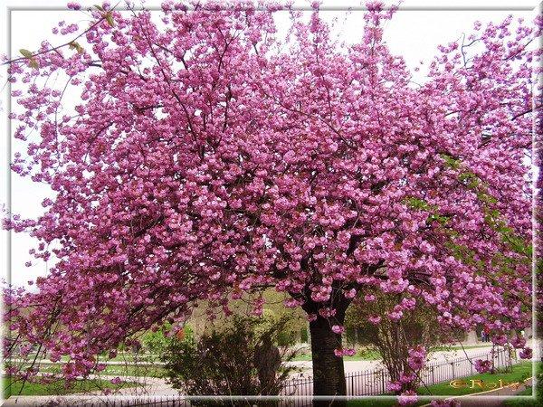 cerisier du japon dit sakura chez le nain. Black Bedroom Furniture Sets. Home Design Ideas